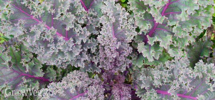 Beautiful purple kale