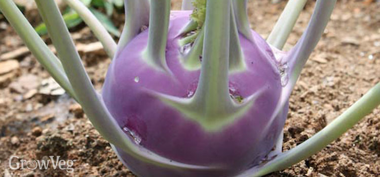 Purple Kohlrabi growing in the garden
