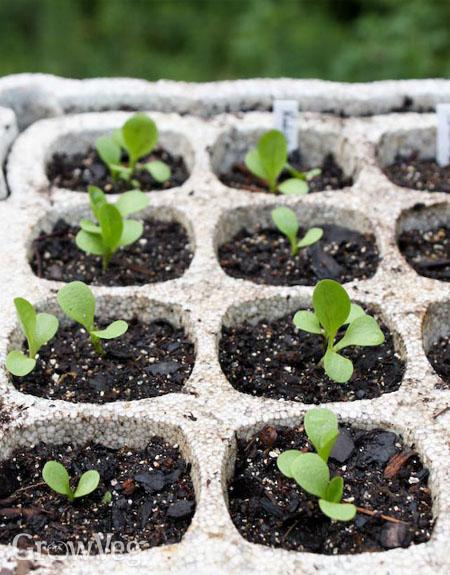 Radicchio seedlings
