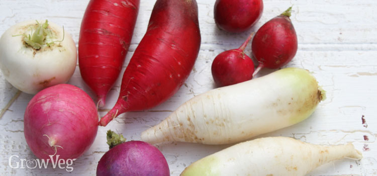 Different types of radishes