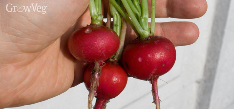 Harvested radishes