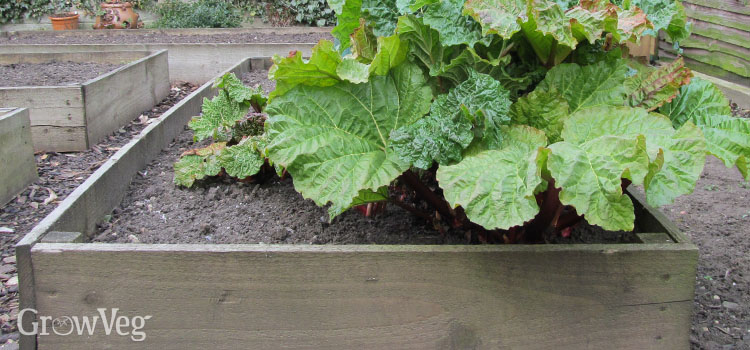 Rhubarb in raised bed