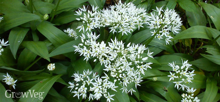 Ramsons (ramps or wild garlic) provide an early wild crop for foragers