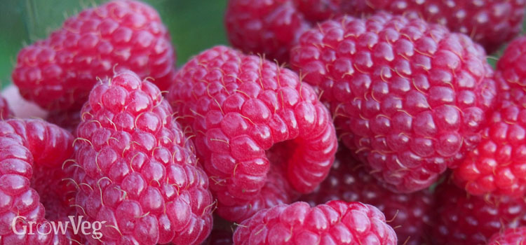 Growing Raspberries Pictures