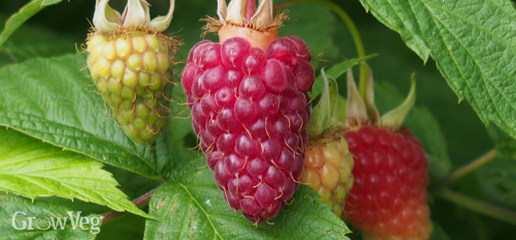 https://s3.eu-west-2.amazonaws.com/growinginteractive/blog/raspberries-ripening-2x.jpg