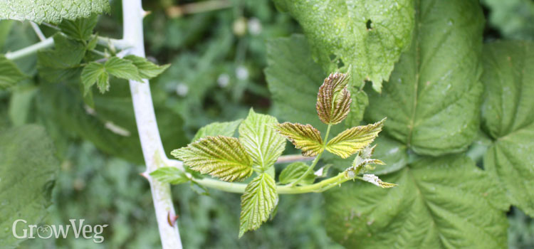 Raspberry lateral branch