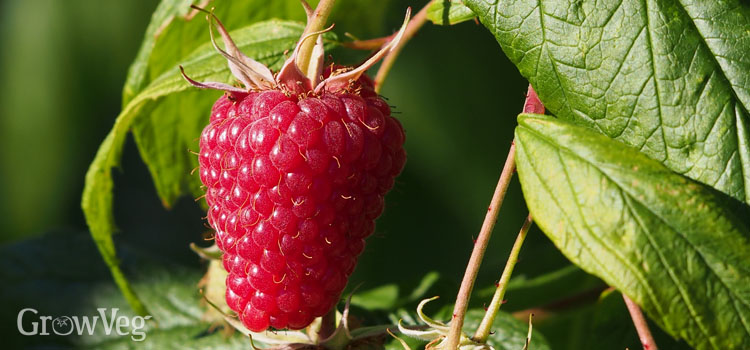 Fall-fruiting raspberry