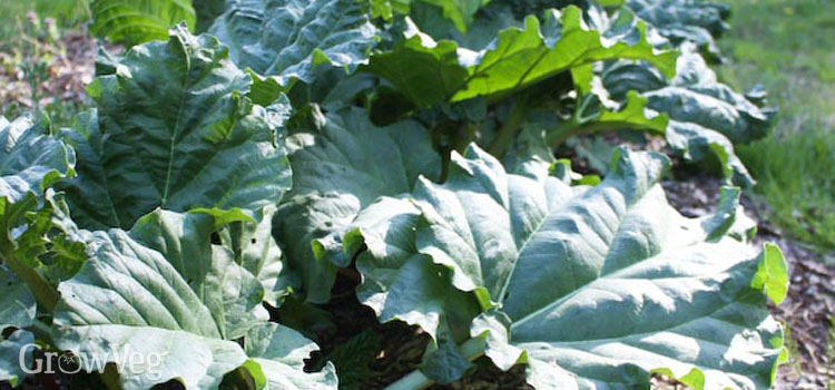 Save time by growing perennial vegetables like rhubarb
