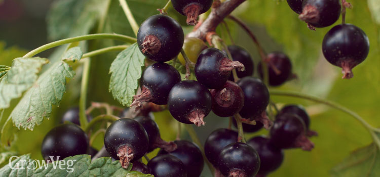 https://s3.eu-west-2.amazonaws.com/growinginteractive/blog/ripe-blackcurrants-2x.jpg