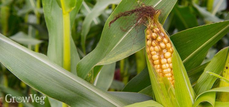 Ripe sweet corn cob