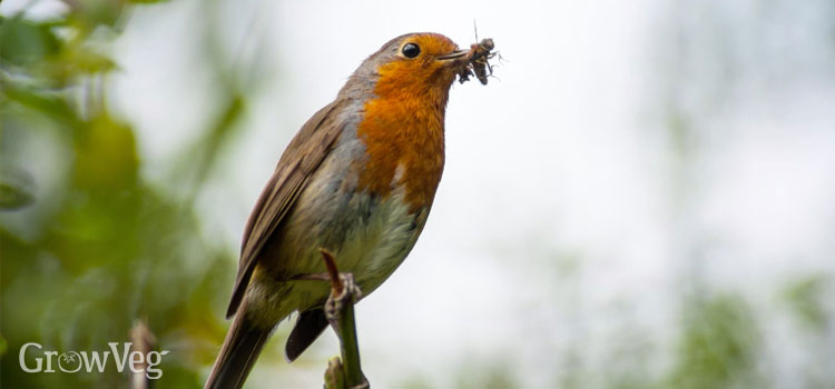 Robin with an insect in its beak