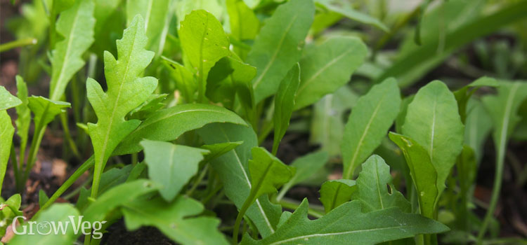 Arugula growing in shade
