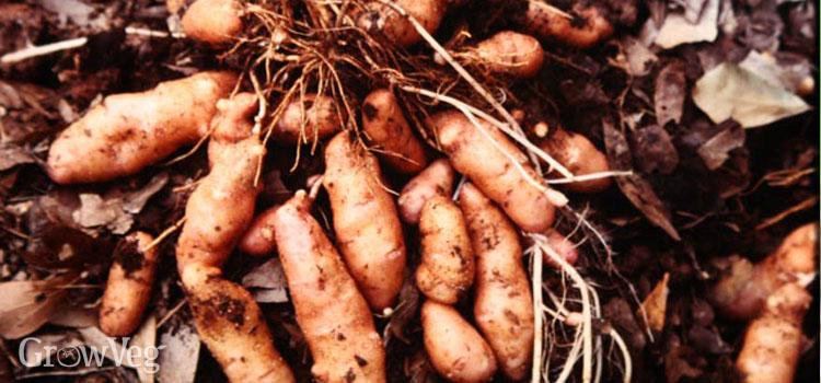 Rose fir apple/Pink fir apple fingerling potatoes