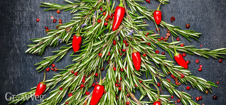 Christmas tree made of sprigs of rosemary and chillies