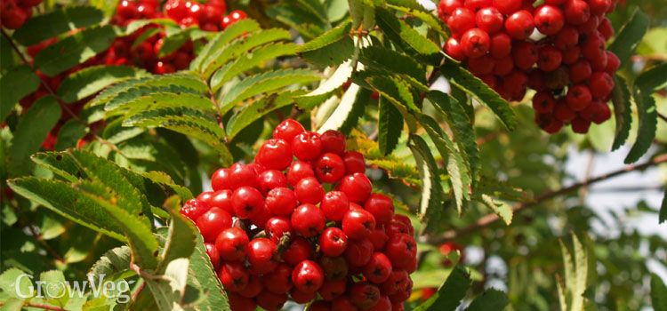 Rowan berries are loved by birds