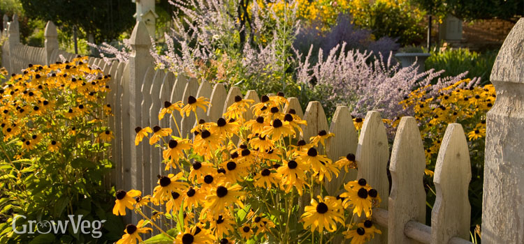 Rudbeckia growing through a picket fence