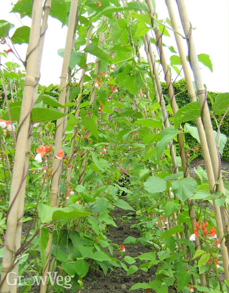 A row of beautiful runner beans