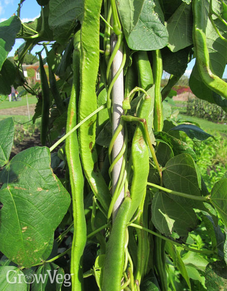 Runner bean pods
