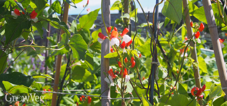 Runner beans growing up a teepee
