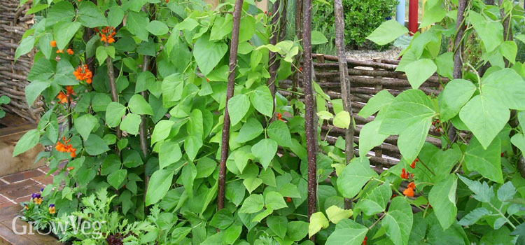 https://s3.eu-west-2.amazonaws.com/growinginteractive/blog/runner-beans-on-tripods-2x.jpg