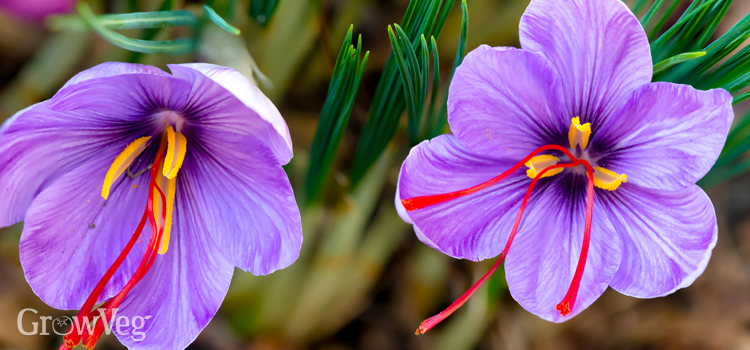 https://s3.eu-west-2.amazonaws.com/growinginteractive/blog/saffron-crocus-flowers-2x.jpg