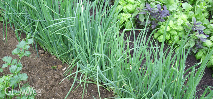 Salad onions, aka spring onions, scallions, or green onions