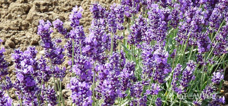 """Lavender"