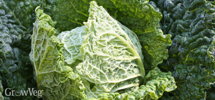https://s3.eu-west-2.amazonaws.com/growinginteractive/blog/savoy-cabbage-2.jpg