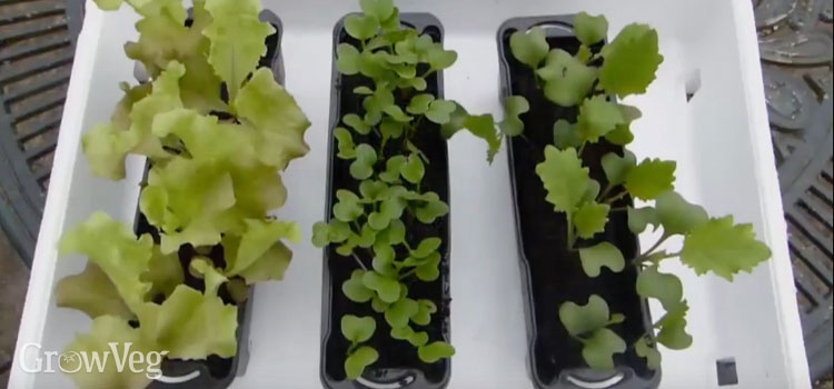 Using a polystyrene fish box to insulate seedlings from frost