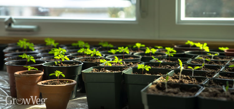 Seedlings on a windowsill