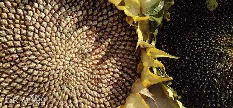 Ripe sunflower seeds
