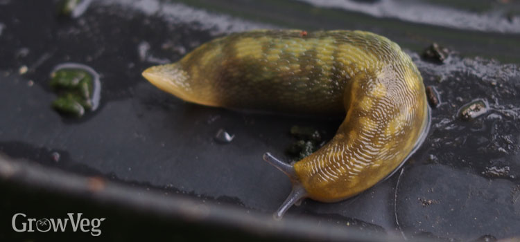 https://s3.eu-west-2.amazonaws.com/growinginteractive/blog/slugs-in-compost-green-cellar-slug-2x.jpg