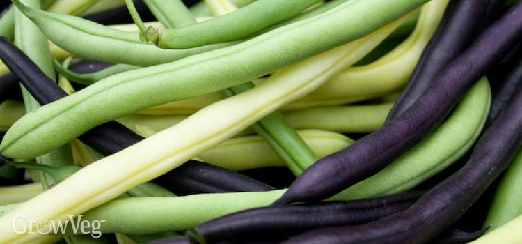 Snap beans ready for freezing