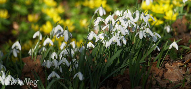 Snowdrops provide nectar for wildlife in winter