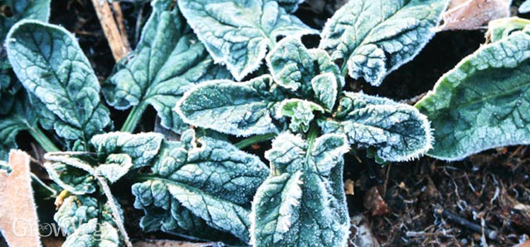 Spinach bristling with frost