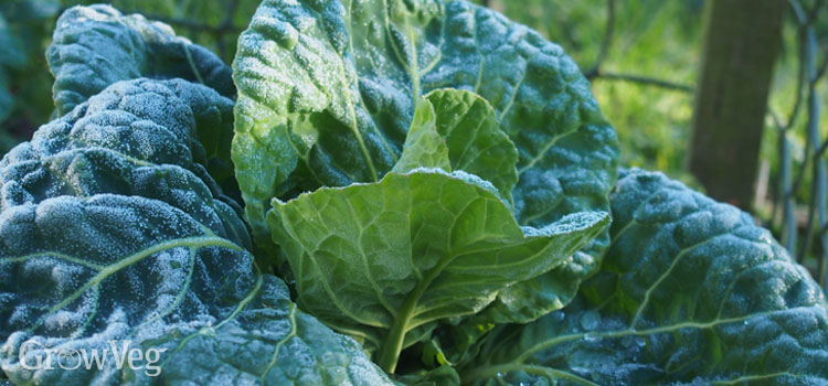 Overwintering spring cabbage on a frosty morning