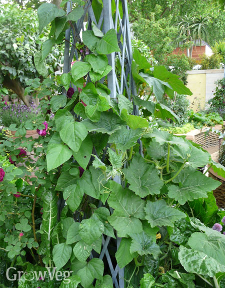 Squash and beans vertically trained up a wigwam