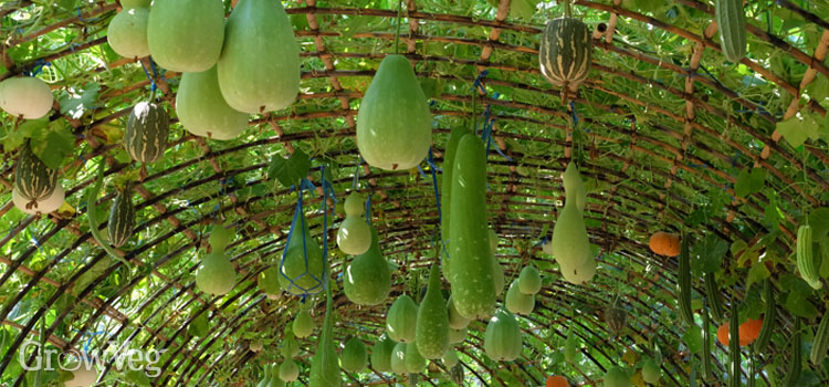 Squashes dangling from an arch
