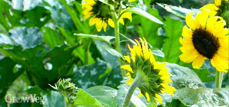 Sunflowers and squash />