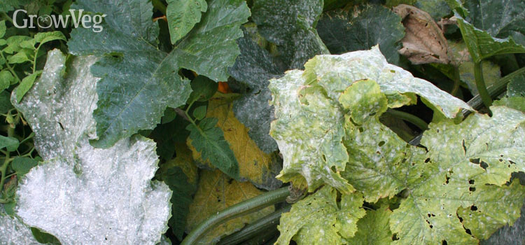 Using Milk to Prevent Powdery Mildew