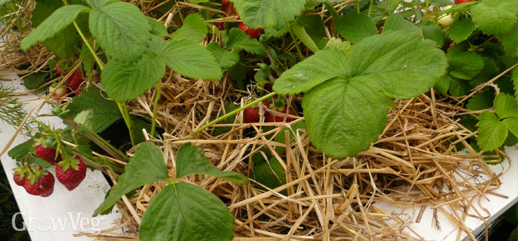 Strawberries in a container mulched with straw