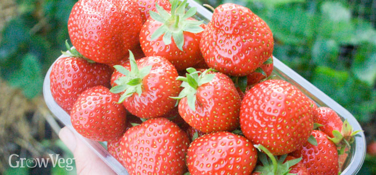 Harvested strawberries