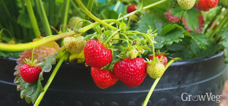 Container with strawberries