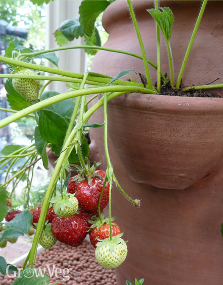Strawberry growing in a strawberry planter