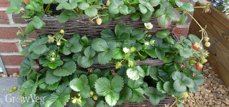 Strawberries growing in troughs