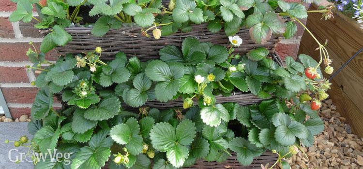 Strawberries growing in troughs