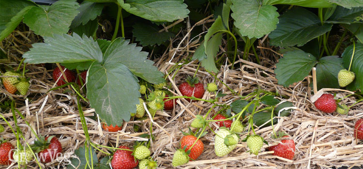 Strawberries on straw