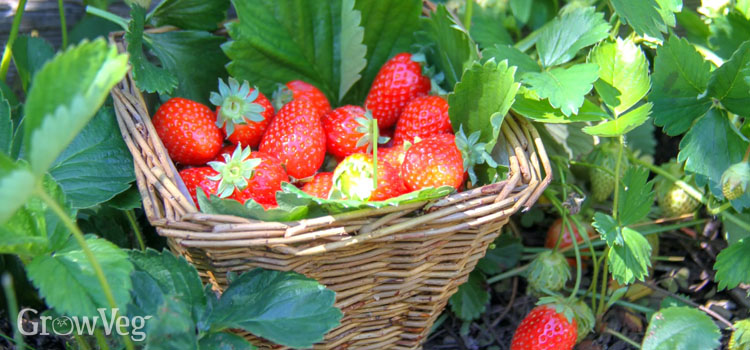 https://s3.eu-west-2.amazonaws.com/growinginteractive/blog/strawberries-planting-to-harvest-picking-2x.jpg
