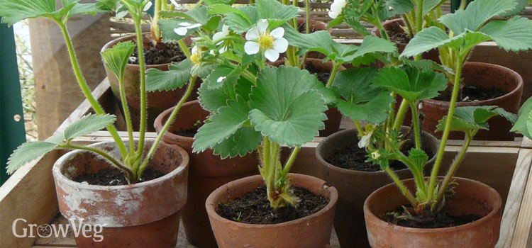 Strawberries in pots in the greenhouse