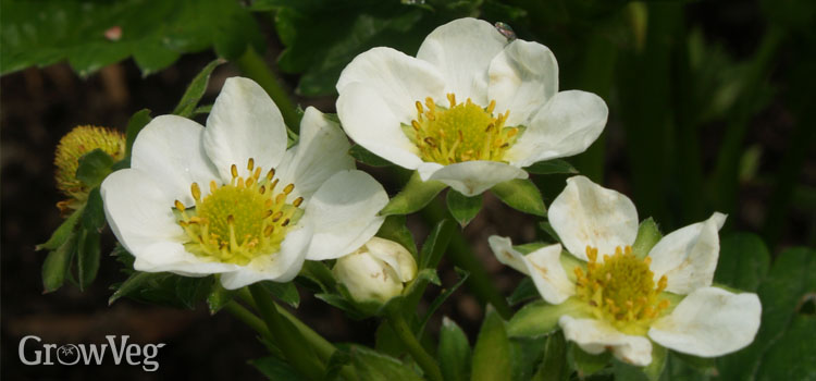 Early flowers on strawberries